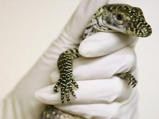 Baby Komodo dragon held by keeper after hatching at Chester Zoo in Chester