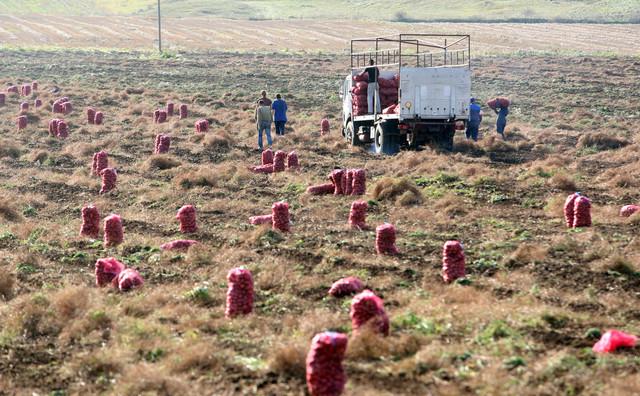 Rod krompira najbolji u poslednje tri decenije
