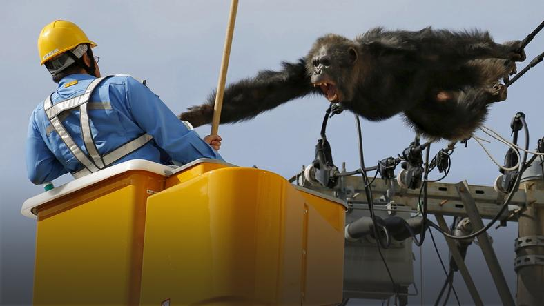 Male chimpanzee Chacha screams after escaping from nearby Yagiyama Zoological Park as a man tries to capture him in Sendai