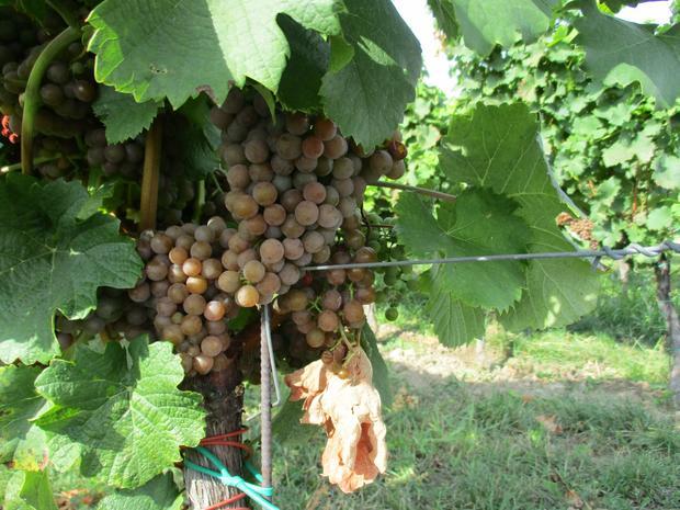 Palava, wyjątkowa czeska odmiana winogron