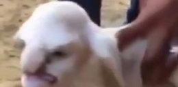 """Oto owieczka z """"ludzką twarzą"""""""