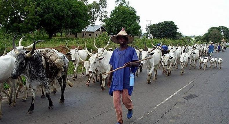 Miyetti Allah cites instances where herdsmen lost their cattle as a result of cattle rustling. (ICIR)