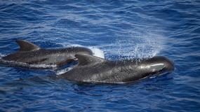 Ocean wyrzucił na plażę 150 wielorybów