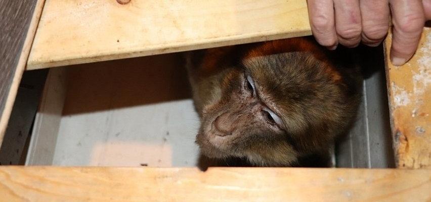 """Jawor: Znaleźli żywą małpkę w drewnianej skrzyni. Właścicielka """"Bubusia"""" nie kryła wzruszenia"""