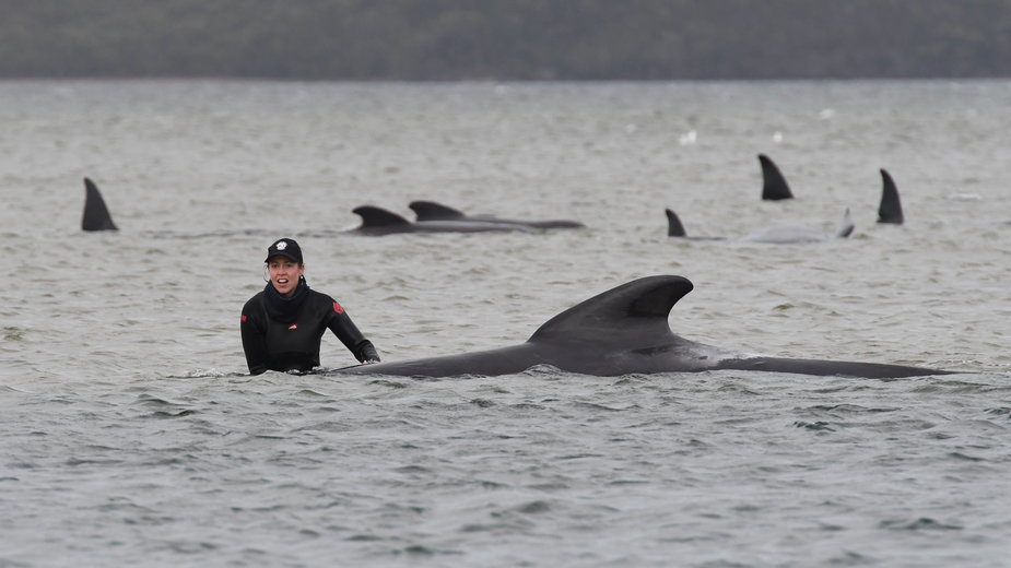 Australia: Akcja ratowania waleni, które utknęły na mieliźnie