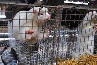 Senacka komisja rolnictwa rekomenduje odrzucenie noweli ustawy o ochronie zwierząt