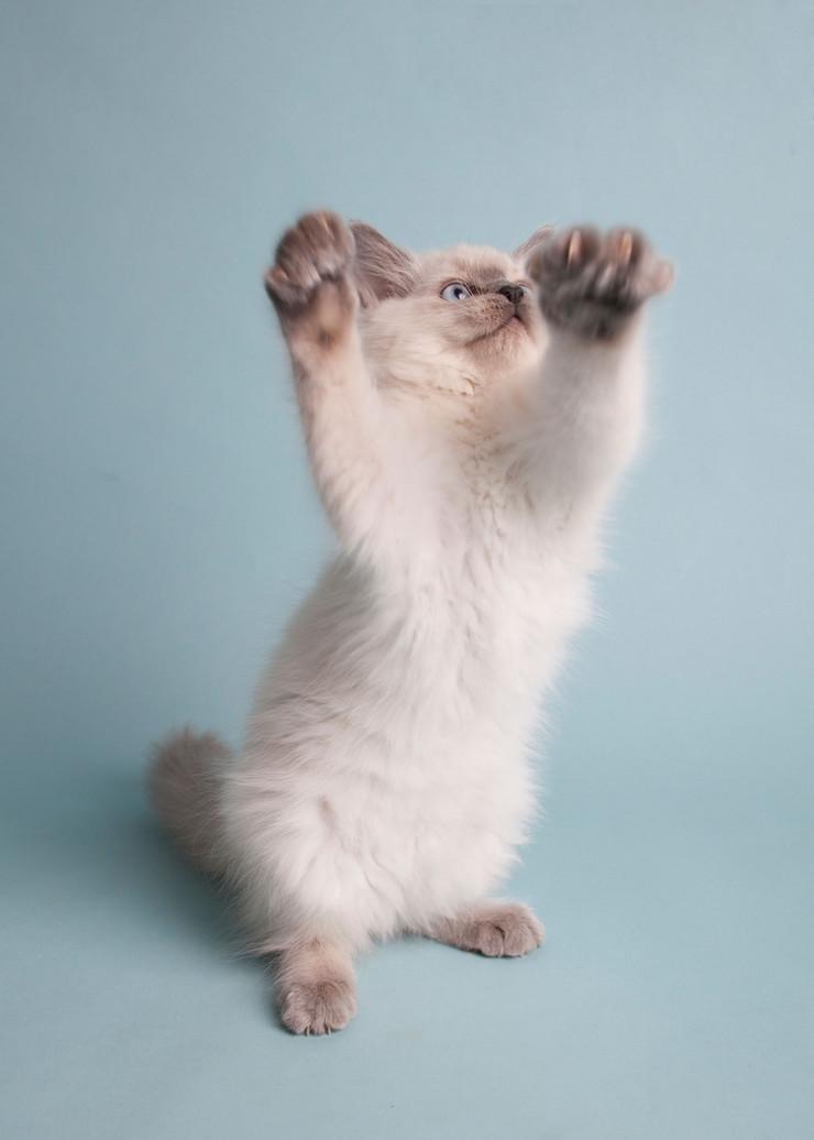 mačka ragdol