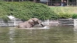 Tak słonie zażywają kąpieli w Poznaniu. Zobacz!