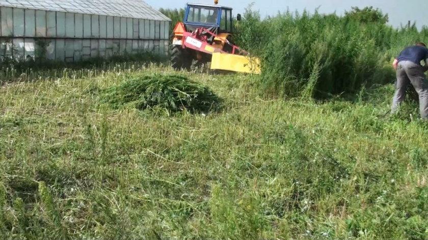 Zlikwidowana plantacja konopi