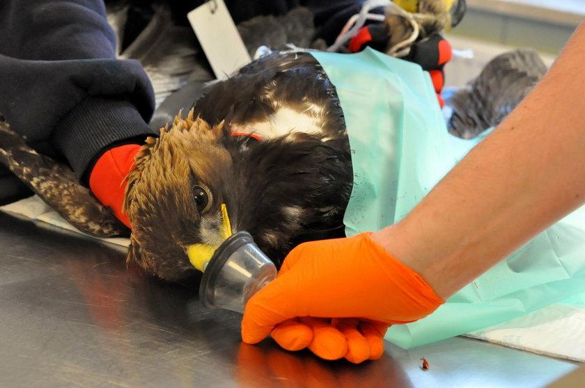 Lekarze uratowali orlicy skrzydło