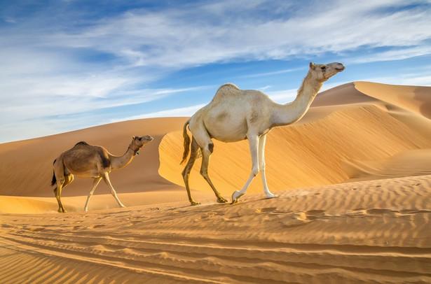 Czy Emiraty Arabskie są bezpieczne? Zjednoczone Emiraty Arabskie to nie tylko jeden z najbezpieczniejszych krajów bliskowschodnich, ale i jeden z najbezpieczniejszych krajów na świecie. Wskaźnik przestępczości w Dubaju jest o wiele niższy niż w większości miast o porównywalnej wielkości. Nie jest też tak zamkniętym miastem, jak niektórzy myślą. Tutejsza różnorodność wręcz zaskakuje. To prawdziwa, kosmopolityczna metropolia, choć od standardowej metropolii odróżnia ją znacznie wyższy poziom luksusu – nawet publiczny transport nie zniechęca. W autobusach jest nie tylko bezpiecznie ale i nieskazitelnie czysto – bez obaw można w ten sposób zwiedzać całą okolicę. Oczywiście zdarzają się drobne incydenty – kieszonkowcy to zjawisko, od którego nigdzie nie można się w 100 proc. uwolnić, ale to tylko sporadyczne epizody, które nie zagrażają bezpieczeństwu. Mieszkańcy Zjednoczonych Emiratów Arabskich słyną z gościnności. Ciepłe przyjęcie i serdeczność wyrażana na każdym kroku zaskakuje, tym bardziej, że spotykana jest na każdym kroku, czy to w hotelu, czy podczas wizyty w kawiarni, gdzie oprócz uśmiechniętego właściciela, na odwiedzających czeka najpyszniejsza na świecie kawa z kardamonem. Źródło: r.pl/zjednoczone-emiraty-arabskie >>