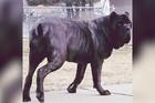 Ovo nije beba psa, ovo je DŽIN: Upoznajte Eufrata, NAJVEĆE ŠTENE NA SVETU