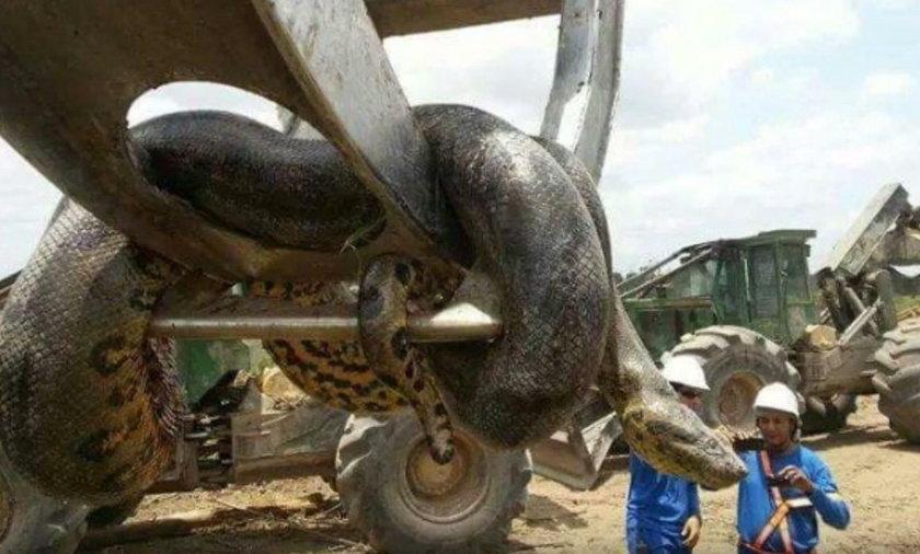 Gigantyczny wąż znaleziony w Brazylii
