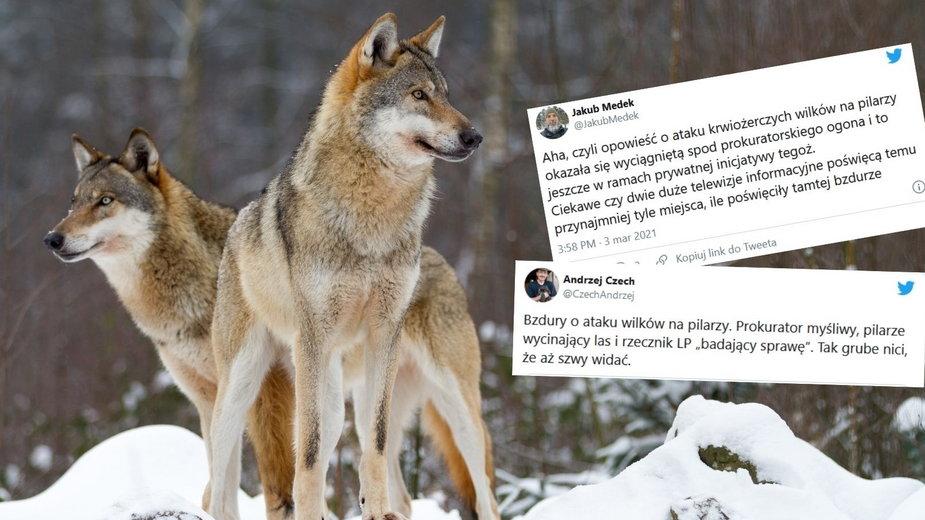 Skandal wokół sprawy wilków, które zaatakowały pilarzy w Brzozowie. Prokurator myśliwym