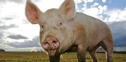 Świnie lubią także rzepak!