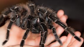 Australijczycy polują na jadowite pająki