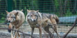 Wilki zamieszkały w zoo