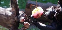 Małpy też kochają lody!