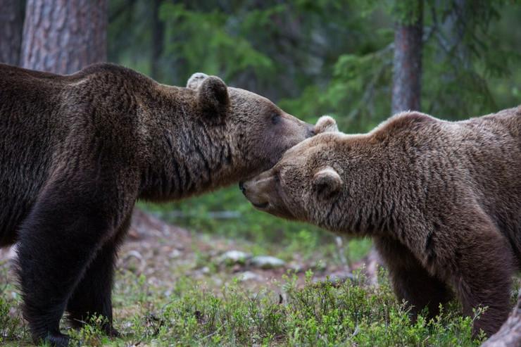 Medvedi profimedia-0057241583