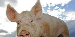 Tak świnie załatwią kiboli Zenita! Co za plan!