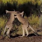 Kad udari kengur na kengura, onda dobijete TUČU GODINE