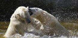 Niedźwiedzie polarne chłodzą się w upały