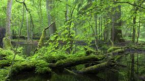 Puszcza Białowieska: degradacja postępuje, drewno gnije, a mieszkańcy nie mogą skorzystać