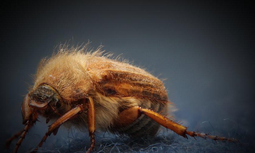 Guniak czerwczyk atakuje. Czy jest groźny? Ten chrząszcz jest dość ciężki, a jego lot nieporadny, więc przelatując od krzewu do krzewu, może się wplątać we włosy, wpaść do ust rowerzyście czy odbić się od przechodnia.