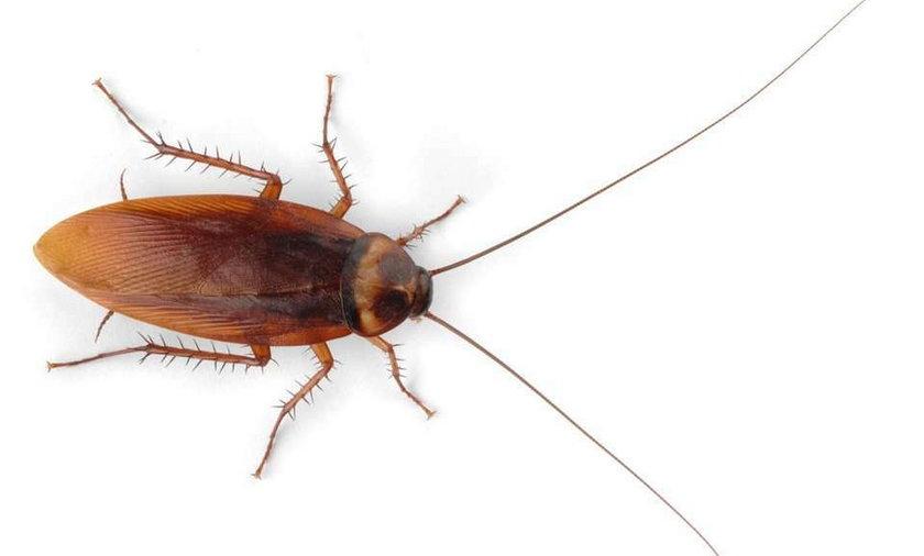 owady, mózg, karaluchy, choroby, insekty