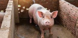 Tysiące chorych zwierząt w Polsce! Epidemia się rozszerza