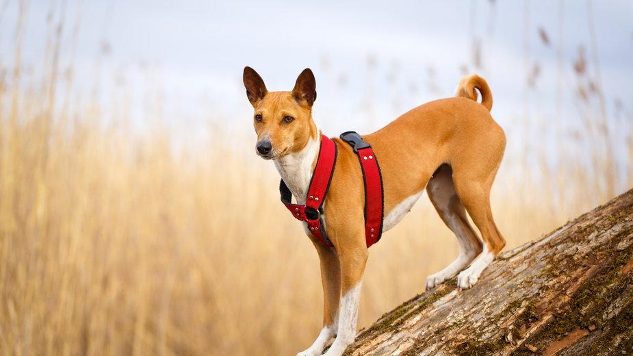 Basenji to pies, który prawie wcale nie szczeka - DragoNika/stock.adobe.com