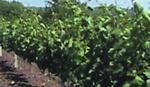 POSLEDICE SUŠE Prinos grožđa manji, berba već krajem avgusta