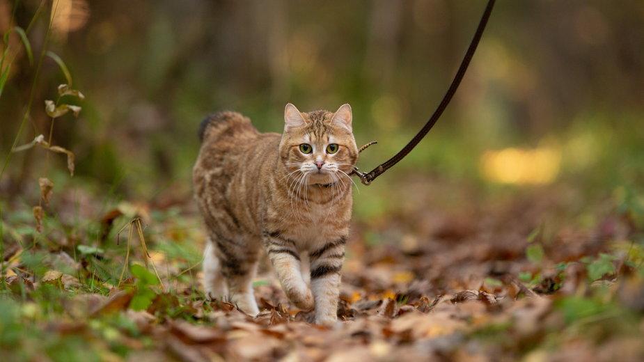 Kot, który wychodzi na spacery, narażony jest na różne choroby