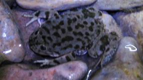 Peru: padło 10 tysięcy żab z zagrożonego wyginięciem gatunku