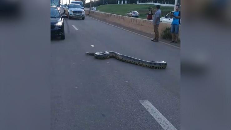 Ogromna zmija na putu