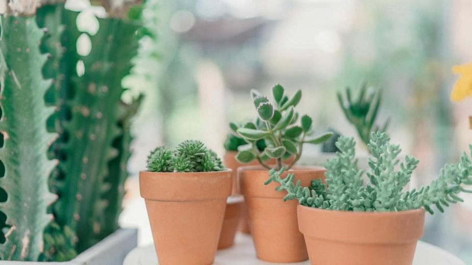 Rośliny na parapet południowy