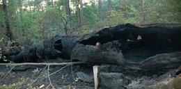 Wandale spalili 900-letni dąb