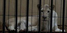 Małe, białe lwiątka