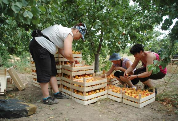 Berači voća zarađuju od 1.800-2.500 na dan