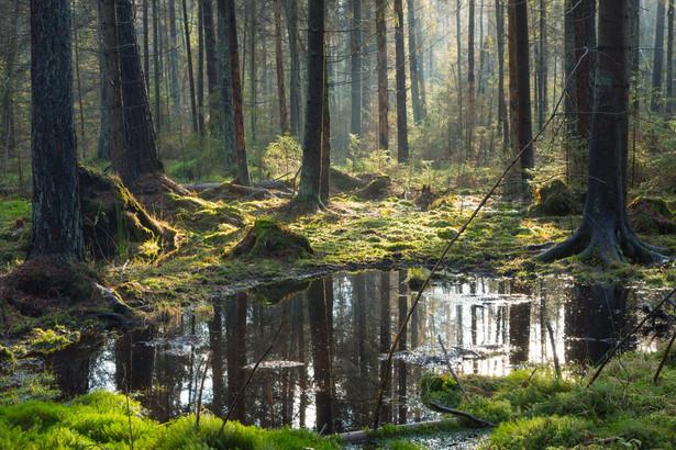 Białowieża Białowieża swą popularność zawdzięcza przede wszystkim Puszczy Białowieskiej i Białowieskiemu Parkowi Narodowemu, który wraz z częścią Puszczy Białowieskiej na terenach Białorusi, został wpisany na listę światowego dziedzictwa UNESCO. Białowieski Park Narodowy, reprezentuje najlepiej zachowany w Europie nizinny las naturalny (grąd, ols, bór). Stwierdzono w nim 806 gatunków roślin naczyniowych (w tym 24 gatunków drzew), ponad 3 tys. gatunkó grzybów, 200 gatunków mchów, 283 porostów.