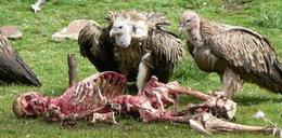 Sępy pożerają ludzkie ciała. DRASTYCZNE ZDJĘCIA