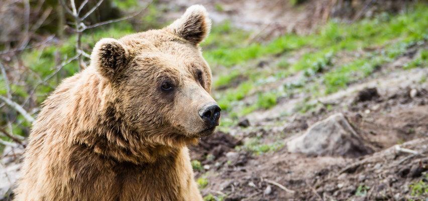 Groza w Tatrach. 72-latek chciał zrobić selfie z niedźwiedziem. Marnie skończył...
