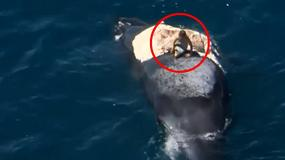 """""""Surfował"""" na martwym wielorybie - był otoczony przez rekiny ludojady"""