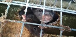 Sondaż: Polacy są przeciwni hodowli zwierząt na futra