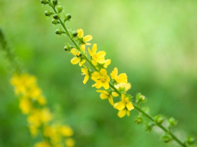 Petrovac: Najbolji je lek protiv žutice, a pomaže i kod gastritisa i oboljenja jetre!