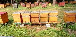 Złodziej ukradł pszczoły. Dla znalazcy przewidziana nagroda
