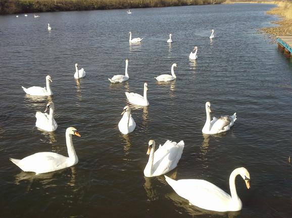 Jato belih labudova uživa u jutarnjem suncu