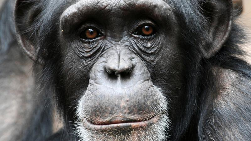 Amerykanie skrzyżowali człowieka z małpą – twierdzi znany naukowiec