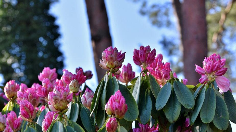 Rododendrony należy zabezpieczyć przed chłodem - Capri23auto/pixabay.com