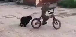 Nic lepszego dziś nie zobaczycie. Małpa ucieka na rowerze przed psem